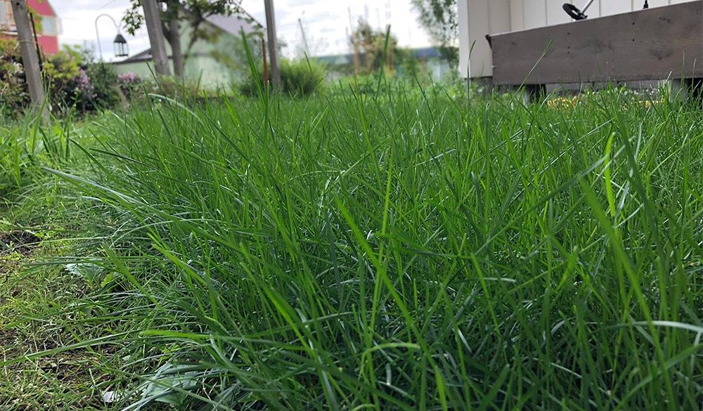 ふかふかの芝生