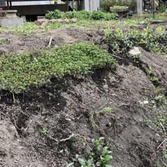 法面の雑草対策にグランドカバープランツ:クリーピングタイム