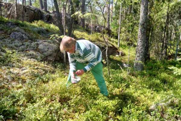 フィンランドの森の癒し時間。ブルーベリーを摘みながら