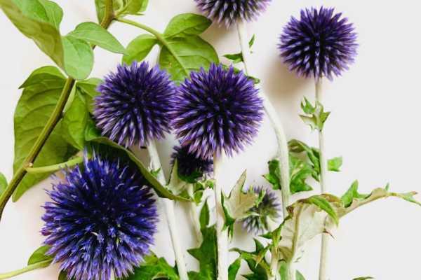 8月7日は「北海道花の日」だそうです