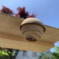 スズメバチの巣とハチトラップ